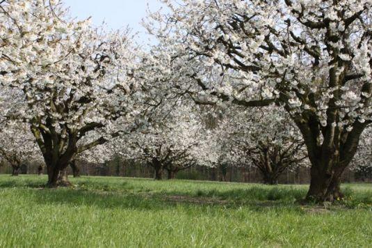 Wiese mit Kirschbäumen