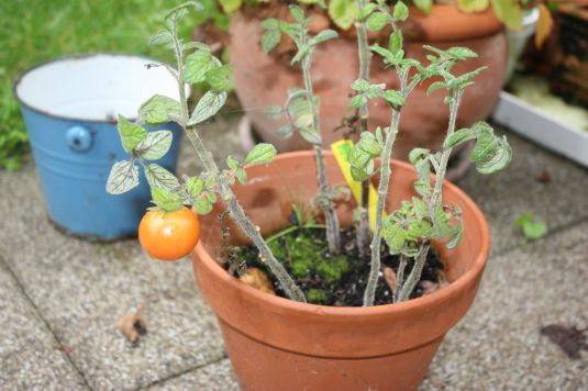 single Tomate